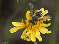 Anthidium palliventre?? (2).jpg