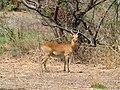 Antilope du parc W, Niger.jpg