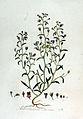 Antirrhinum minus — Flora Batava — Volume v2.jpg