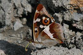 Apatura iris Weinsberg 20080614 3.jpg