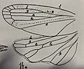 Aphrophora Coquandi femelle 1937 Nicolas Théobald holotype éch. II p. 368 pl.,XXVII Hémiptères du Stampien d'Aix-en-Provence nervures des ailes.jpg