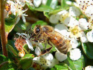 Les abeilles sociales dans ABEILLES 319px-Apis_mellifera_Luc_Viatour