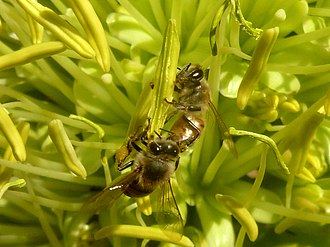African bee - East African lowland worker bees foraging on pollen of an introduced foxtail agave