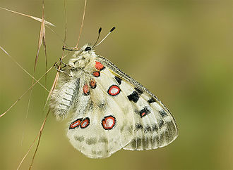 Lepidoptera in the 10th edition of Systema Naturae - The Apollo was named Papilio apollo, after Apollo.