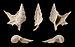 Aporrhais scaldensis 01.JPG