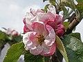 Apple Blossom (40670321093).jpg