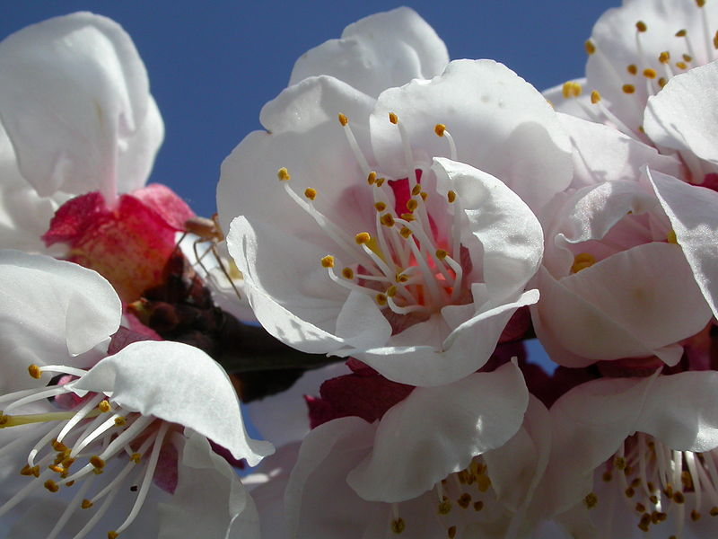 Aprikosenblüte0003.JPG