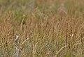 Aquatic warbler (Acrocephalus paludicola) 02.jpg