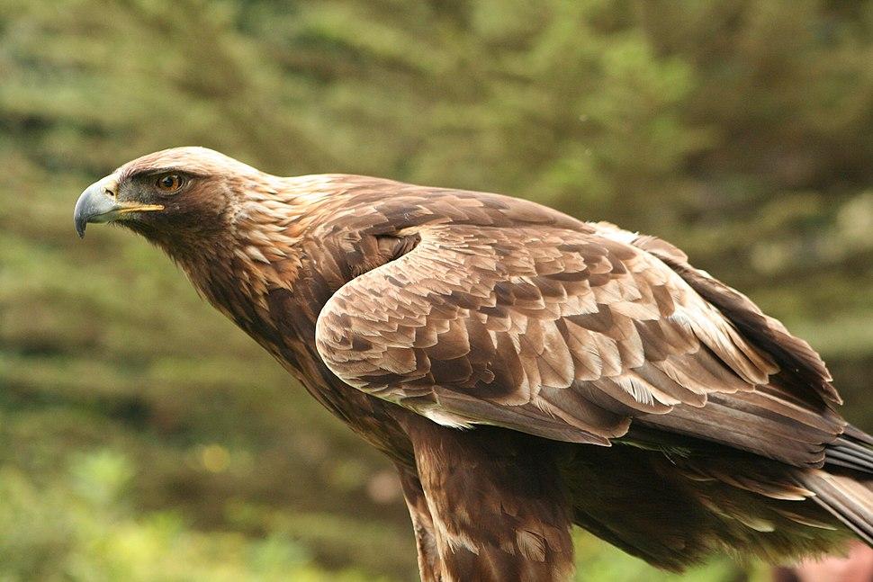 Aquila chrysaetos Flickr