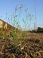 Arabidopsis thaliana sl20.jpg