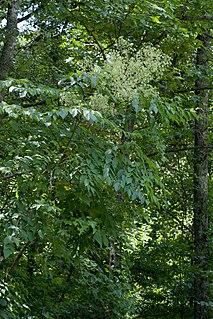 <i>Aralia spinosa</i> species of plant