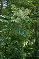 Aralia spinosa Arkansas.jpg