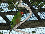 Aratinga auricapillus -Seattle, Washington, USA -pet in aviary-8.jpg