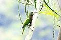 Aratinga nana -Belize-8.jpg