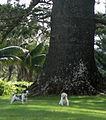 Araucaria heterophylla Norfolk Island 17.jpg