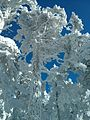 Arboles nevados en la Sierra de Guadarrama 1.jpg