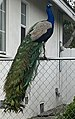 Arcadia Peacock (cropped).jpg