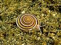 Architectonica sp. (Marine snail).jpg