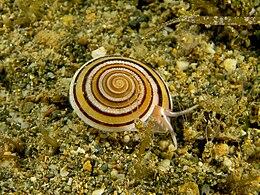 Architectonica sp. (Marine snail)