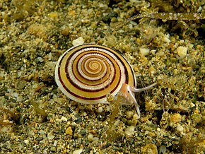 Description de l'image Architectonica sp. (Marine snail).jpg.