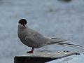 Arctic Tern (8028148944).jpg