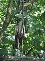 Ardea purpurea (Wroclaw zoo)-2.JPG
