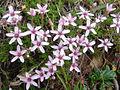 Arenaria purpurascens 1 (Picos).jpg
