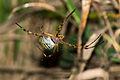 Argiope frelon (1).jpg