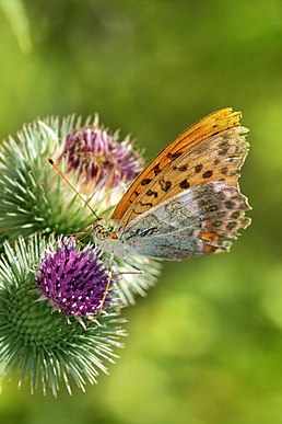 Argynnis paphia on Carduoideae Richard Bartz.jpg