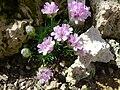Armeria juniperifolia 'Brookside' (Plumbaginaceae) plant.jpg