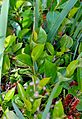 Aronia melanocarpa (14812229919).jpg