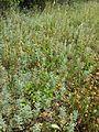Artemisia pontica sl5.jpg