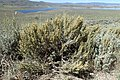Artemisia tridentata kz07.jpg