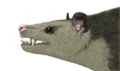 Artistic reconstruction of Vincelestes.PNG