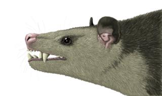 <i>Vincelestes</i> Extinct family of mammals