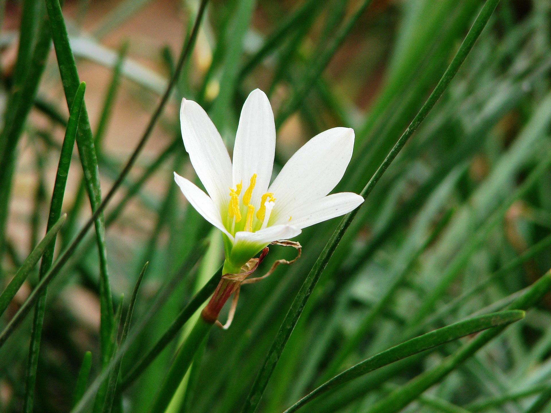 Zephyranthes candida  Wikipedia