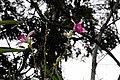 Arundina graminifolia 3zz.jpg