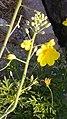 Arya- field mustard-graha nuansa-2019-1.jpg