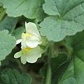 Asarina procumbens-IMG 1544.jpg
