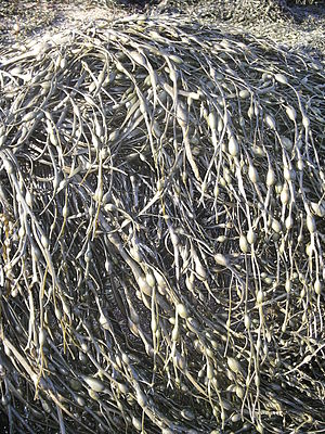 Fucales - Ascophyllum nodosum