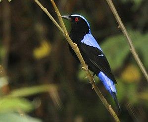 Asian fairy-bluebird - Khao Yai National Park - Thailand