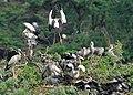 Asian Openbill (Anastomus oscitans) heronery in Uppalpadu, AP W IMG 2935.jpg