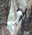 Asian Paradise Flycatcher4.jpg