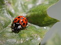 Asian lady beetle with prey (6970300680).jpg