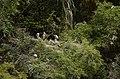 Asian openbill stork (Anastomus oscitans) from Ranganathittu Bird Sanctuary JEG3946.JPG
