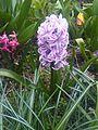 Asparagales - Hyacinthus orientalis 5.jpg