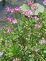 Astragalus sinicus 4.JPG