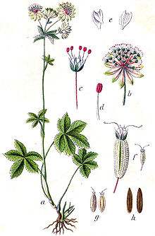 Astrantia major Sturm4.jpg
