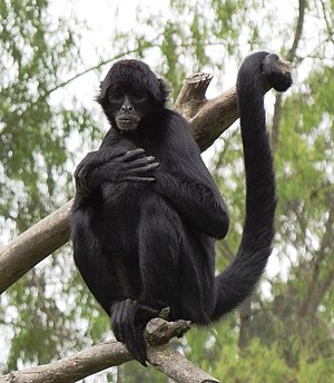 Spider monkey - Black-headed spider monkey (Ateles fusciceps)
