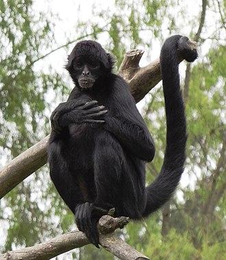 Spider monkey - Black-headed spider monkey (Ateles fusciceps)